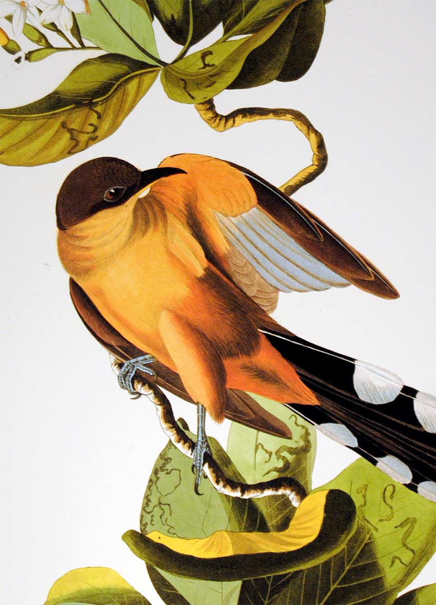 Detail of Abbeville Press Audubon limited edition lithograph of pl. 169 Mangrove Cuckoo