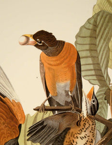 Detail of Abbeville Press Audubon limited edition lithograph of pl. 131 American Robin