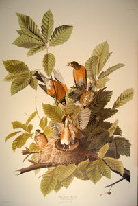 Full sheet view of Abbeville Press Audubon limited edition lithograph of pl. 131 American Robin