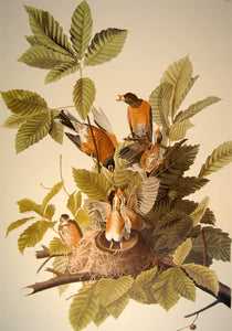 Closer view of Abbeville Press Audubon limited edition lithograph of pl. 131 American Robin