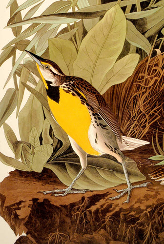 Detail of Abbeville Press Audubon limited edition lithograph of pl. 136 Meadow Lark
