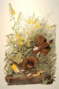 Full sheet view of Abbeville Press Audubon limited edition lithograph of pl. 136 Meadow Lark