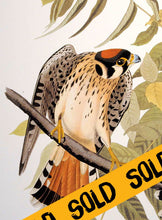Load image into Gallery viewer, Audubon Abbeville Press Print Pl 142 American Sparrow Hawk - Sold, detail
