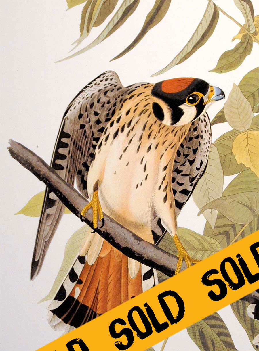 Audubon Abbeville Press Print Pl 142 American Sparrow Hawk - Sold, detail