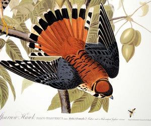 Detail of Abbeville Press Audubon limited edition lithograph of pl. 142 Sparrow Hawk