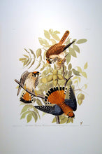 Load image into Gallery viewer, Full sheet view of Abbeville Press Audubon limited edition lithograph of pl. 142 Sparrow Hawk
