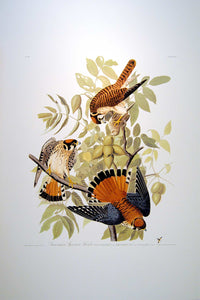Full sheet view of Abbeville Press Audubon limited edition lithograph of pl. 142 Sparrow Hawk