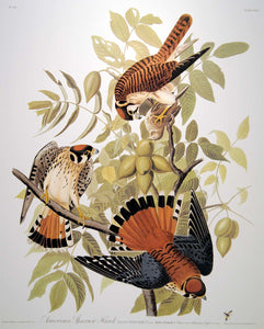 Closer view of Abbeville Press Audubon limited edition lithograph of pl. 142 Sparrow Hawk