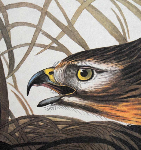 Detail view of Amsterdam Audubon limited edition lithograph of pl. 71 Winter Hawk