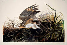 Load image into Gallery viewer, Audubon Amsterdam Print for sale Pl 71 Winter Hawk, full sheet