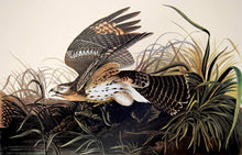 Load image into Gallery viewer, Audubon Amsterdam Print for sale Pl 71 Winter Hawk, plate