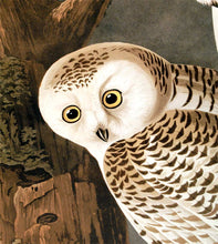 Load image into Gallery viewer, Detail of Abbeville Press Audubon limited edition lithograph of pl. 121 Snowy Owl