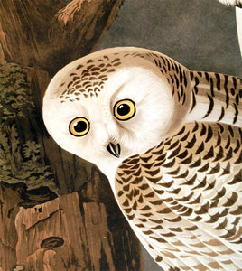 Detail of Abbeville Press Audubon limited edition lithograph of pl. 121 Snowy Owl