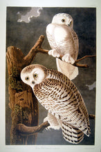 Load image into Gallery viewer, Full sheet view of Abbeville Press Audubon limited edition lithograph of pl. 121 Snowy Owl