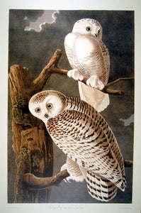 Full sheet view of Abbeville Press Audubon limited edition lithograph of pl. 121 Snowy Owl
