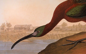 Detail view of Abbeville Press Audubon limited edition lithograph of pl. 387 Glossy Ibis