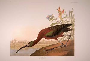 Full sheet view of Abbeville Press Audubon limited edition lithograph of pl. 387 Glossy Ibis