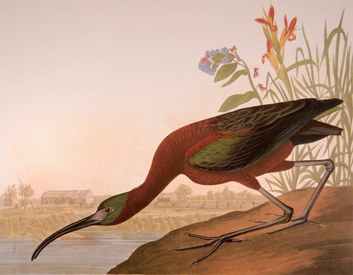 Closer view of Abbeville Press Audubon limited edition lithograph of pl. 387 Glossy Ibis