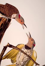 Load image into Gallery viewer, Detail of Abbeville Press Audubon limited edition lithograph of pl. 37 Golden-Winged Woodpecker, Flicker