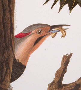 Detail of Abbeville Press Audubon limited edition lithograph of pl. 37 Golden-Winged Woodpecker, Flicker