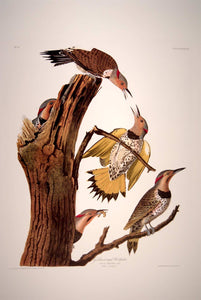 Full sheet view of Abbeville Press Audubon limited edition lithograph of pl. 37 Golden-Winged Woodpecker, Flicker