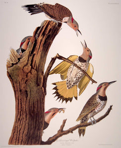 Plate view of Abbeville Press Audubon limited edition lithograph of pl. 37 Golden-Winged Woodpecker, Flicker