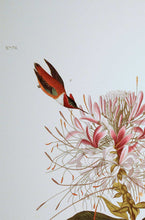 Load image into Gallery viewer, Detail view of Abbeville Press Audubon limited edition lithograph of pl. 379 Ruff-Necked Hummingbird