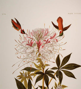 Detail view of Abbeville Press Audubon limited edition lithograph of pl. 379 Ruff-Necked Hummingbird
