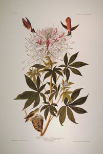 Full sheet view of Abbeville Press Audubon limited edition lithograph of pl. 379 Ruff-Necked Hummingbird