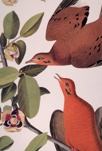Detail of Abbeville Press Audubon limited edition lithograph of pl. 162 Zenaida Dove