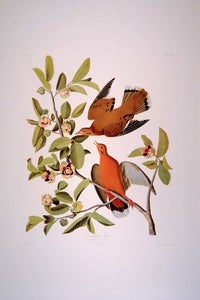 Full sheet view of Abbeville Press Audubon limited edition lithograph of pl. 162 Zenaida Dove
