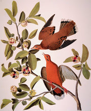 Load image into Gallery viewer, Closer view of Abbeville Press Audubon limited edition lithograph of pl. 162 Zenaida Dove