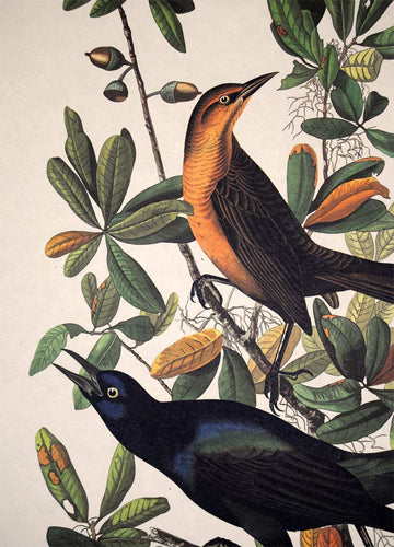 Detail view of Amsterdam Audubon limited edition lithograph of pl. 187 Boat-Tailed Grackle