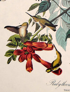 Detail view of Amsterdam Audubon limited edition lithograph of pl. 47 Ruby-Throated Hummingbird