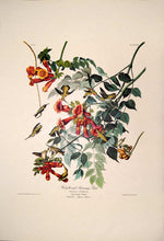 Load image into Gallery viewer, Full sheet view of Amsterdam Audubon limited edition lithograph of pl. 47 Ruby-Throated Hummingbird