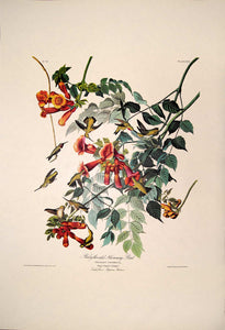 Full sheet view of Amsterdam Audubon limited edition lithograph of pl. 47 Ruby-Throated Hummingbird