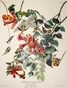 Closer view of Amsterdam Audubon limited edition lithograph of pl. 47 Ruby-Throated Hummingbird