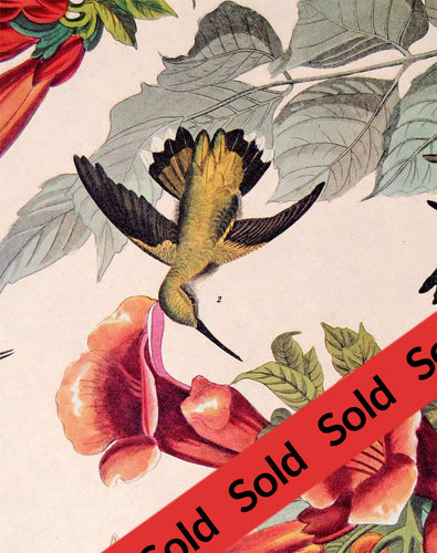 Audubon Amsterdam Print Pl 47 Ruby Throated Hummingbird, detail