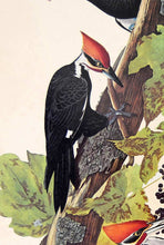 Load image into Gallery viewer, Audubon Amsterdam Print for sale Pl 111 Pileated Woodpecker, detail
