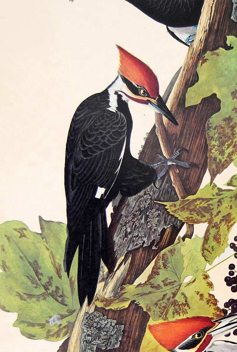 Audubon Amsterdam Print for sale Pl 111 Pileated Woodpecker, detail