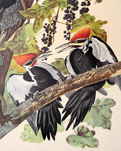 Detail view of Amsterdam Audubon limited edition lithograph of pl. 111 Pileated Woodpecker
