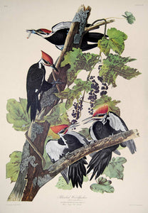 Audubon Amsterdam Print for sale Pl 111 Pileated Woodpecker, full sheet