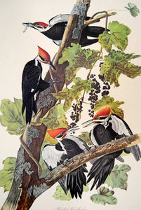 Audubon Amsterdam Print for sale Pl 111 Pileated Woodpecker, plate