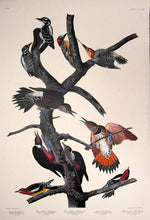 Load image into Gallery viewer, Full sheet view of Amsterdam Audubon limited edition lithograph of pl. 416 Ten Woodpeckers