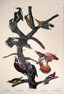 Full sheet view of Amsterdam Audubon limited edition lithograph of pl. 416 Ten Woodpeckers