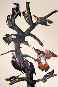 Closer view of Amsterdam Audubon limited edition lithograph of pl. 416 Ten Woodpeckers