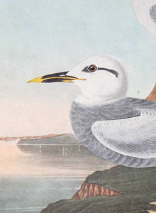 Detail view of Amsterdam Audubon Prints limited edition lithograph of pl. 409 Havell's and Trudeau's Tern