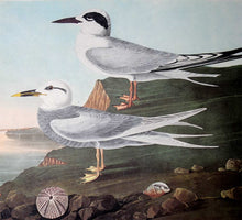 Load image into Gallery viewer, Detail view of Amsterdam Audubon Prints limited edition lithograph of pl. 409 Havell's and Trudeau's Tern