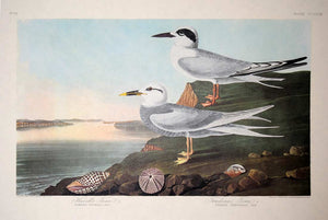 Full sheet view of Amsterdam Audubon Prints limited edition lithograph of pl. 409 Havell's and Trudeau's Tern