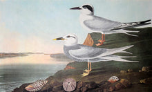 Load image into Gallery viewer, Closer view of Amsterdam Audubon Prints limited edition lithograph of pl. 409 Havell's and Trudeau's Tern